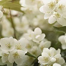 NOTES of fresh jasmine, violet and magnolia flowers add a crisp cleanliness.