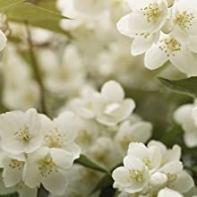 NOTES of jasmine and lily of the valley flower fresh romance into the crisp cool air.